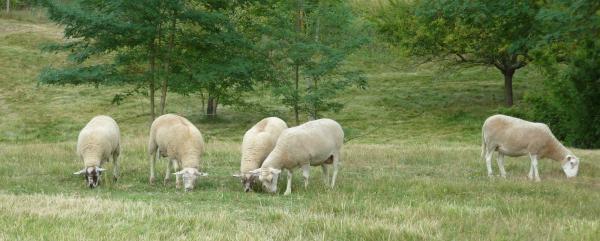 Moutons, juillet 2017